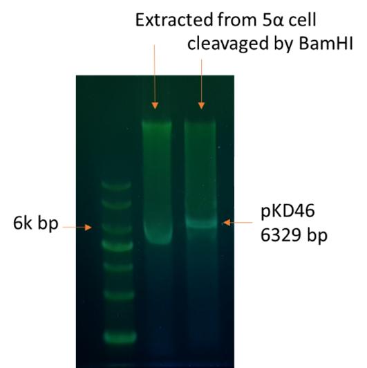 The plasmid extract of pKD46 glycerol stock on DNA gel