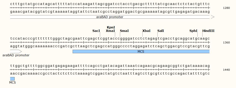 pBAD33-plasmid