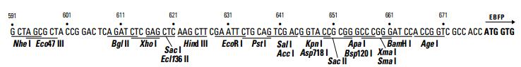 pEBFP-N1-plasmid