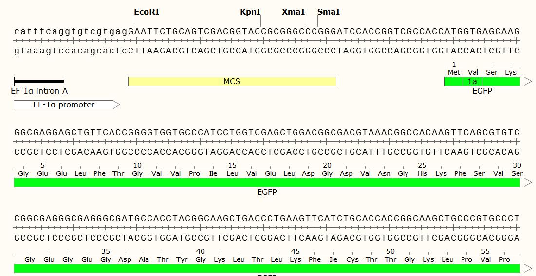 pEF-GFP-plasmid