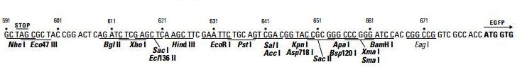 pEGFP-N2-plasmid