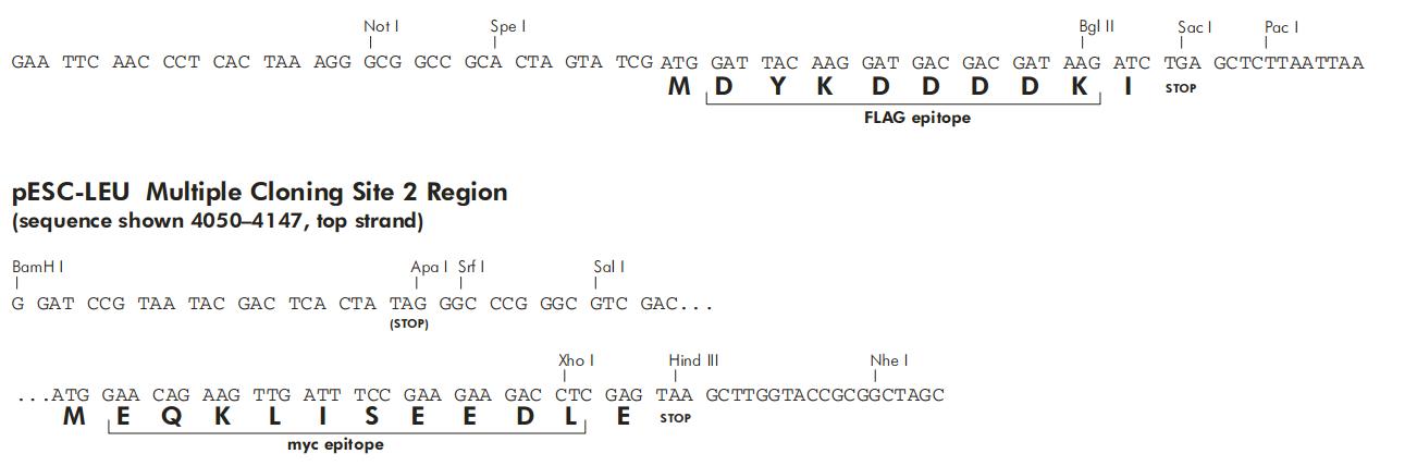 pESC-LEU-plasmid.png
