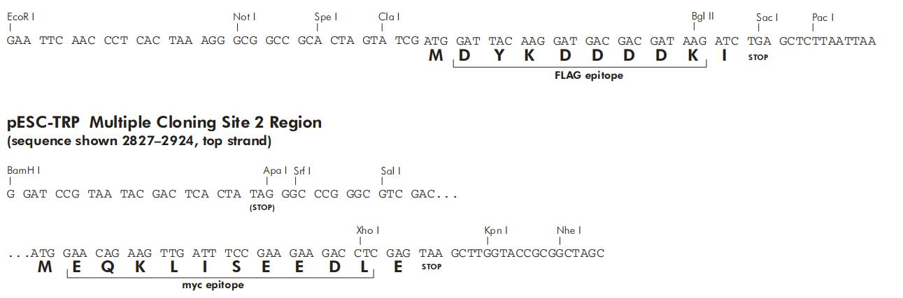 pESC-Trp-plasmid