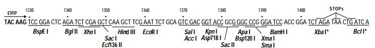 pEYFP-C1-plasmid