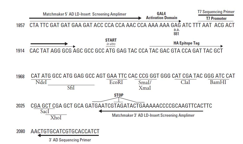 pGADT7-AD-vector