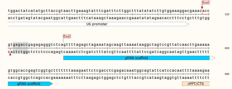 pGL3-U6-sgRNA-PGK-puromycin-vector