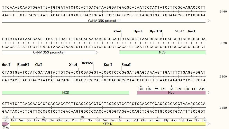 pUC-SPYNE-multiple-cloning-site