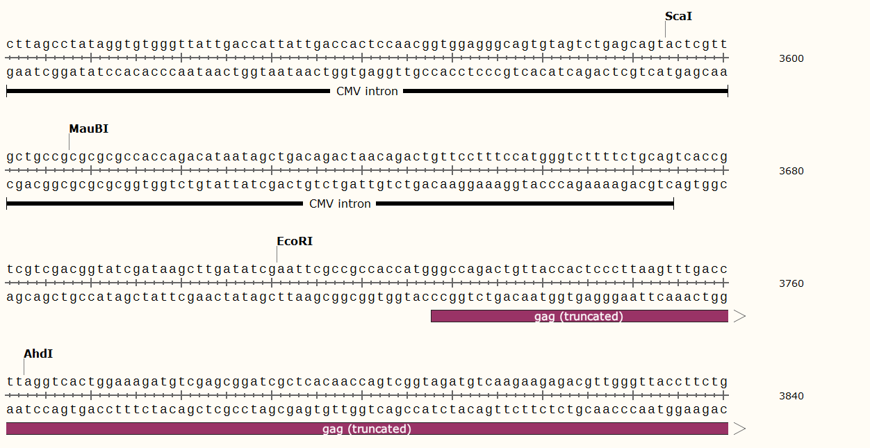 pUMVC-plasmid