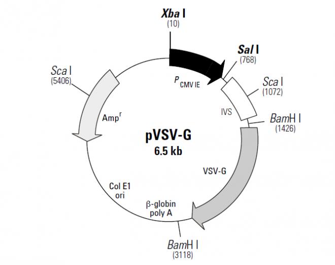 pVSV-G