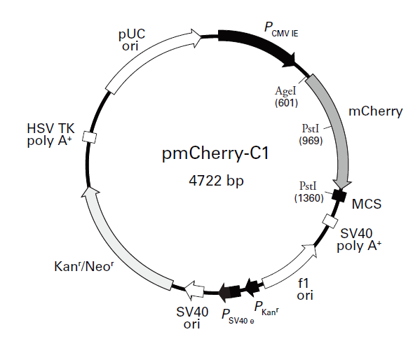 pmCherry-C1