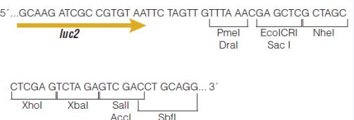 pmirGLO-vector
